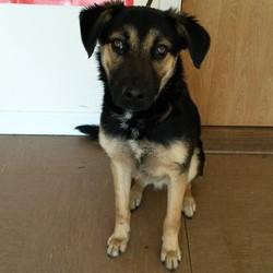 Found dog on 28 Feb 2015 in Wicklow. German Shepherd X found Glenealy, Co Wicklow.  Contact Wicklow Dog Pound for information on 040444873