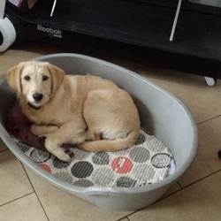 Lost dog on 06 Mar 2015 in killeens. Medium golden labradoodle