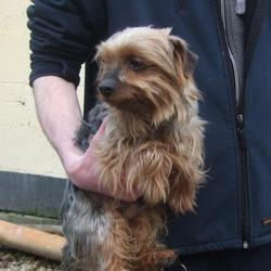 Found dog on 06 Mar 2015 in tallaght. found yorkshire terrier, now in the dublin dog pound... Date Found: