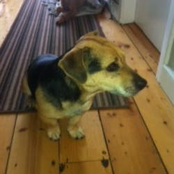 Found dog on 26 Mar 2015 in Killester. Found at Killester Dart Station, 8.30am, Thursday 26th March. Black and Tan terrier, possibly jack russell cross. Male, very quiet and well behaved.