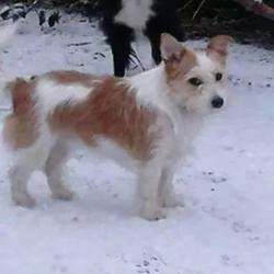 Lost dog on 21 Mar 2015 in Thurles, Co. Tipperary. Rascal from Ballycurrane, Thurles, Co. Tipperary is missing since Saturday 21st of March.  She was last heard following a girl into Cabra Court, Thurles.  She is a much loved pet.  We just want her home.  She is a brown and white wire haired terrier.  She wasn't wearing her collar.  She is very friendly, micro chipped and neutered, Please help us find her. Reward offered, contact Tammy 0870918319
