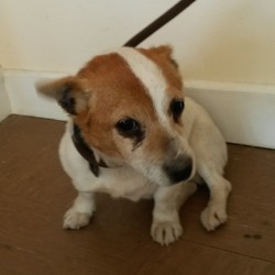Found dog on 16 Apr 2015 in Wicklow. Terrier found Wicklow Town.  Contact Wicklow Dog  Pound for information on 040444873