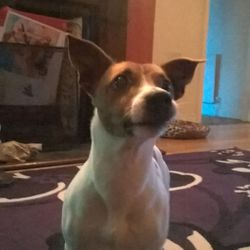 Lost dog on 25 Apr 2015 in Claremorris. Missing Jack Russell male dog in Claremorris near McWilliam Park Hotel.Phone 0868775810