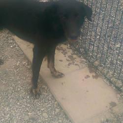 Found dog on 14 May 2015 in Kingscourt, Navan...... found ref 239 (found with Rusty & Max) in Barley Hill, Kingscourt, Navan..