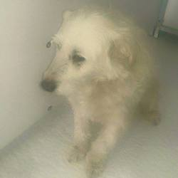 Found dog on 14 May 2015 in Kingscourt Navan.-. found ref 240 (found with Rusty & Micra) in Barley Hill, Kingscourt Navan....contact Meath pound...