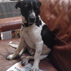 Lost dog on 18 May 2015 in Northwood Santry D9. Black and white jack Russell missing since mon 18th may 845 pm .called
