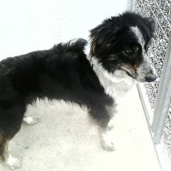 Found dog on 19 May 2015 in Robinstown Trim. FOUND..Ruby.(real mame).2yr old Collie...ref 247...found in Robinstown Trim....trying to trace owners through her microchip...contact Meath pound