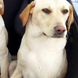 Lost dog on 29 May 2015 in Dungiven. Derry . ** Molly ** 