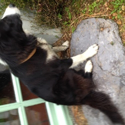 Found dog on 01 Aug 2015 in Near Schull, Co. Cork. Black and white collie. Tan leather collar, with chain. Seems young. Friendly and clearly used to people.