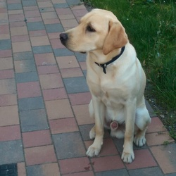 Lost dog on 12 Aug 2015 in dublin. Golden Labrador
