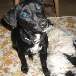 Lost dog on 17 Jun 2014 in Hovingham. Near Malton. North Yorkshire.. Patterdale terrier x