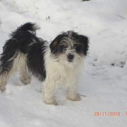Lost dog on 17 Jun 2014 in Hovingham near Malton. North Yorkshire. Terrier cross. Sometime mistaken for Shitzu.