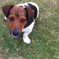 Lost dog on 22 Oct 2015 in Kildare. STOLEN...Jack Russell taken from Kildare - If you have him please contact me, he is a dear family pet and missed very much. He was taken from our garden in July and have not seen since. Reward offered for his safe return. Answers to the name Joe.0876824125