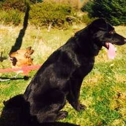 Lost dog on 28 Oct 2015 in Wicklow. Black German Shepherd Cross female went missing from Tulfarris estate Blessington on Weds.  with a male tan German Shepherd cross.