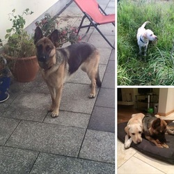 Lost dog on 30 Oct 2015 in Maynooth. MISSING: our 2 dogs have gone missing this morning from the Maynooth area since 10/11am, 30th October, one bitch German Shepherd called Mia wearing an orange collar and another Labrador bitch Nala wearing a blue collar. Both are friendly family pets and are microchipped. Could have headed towards kilcloon/Kilcock/dunboyne direction. Please keep an eye out and spread the word! Please contact any of the following numbers if you have any information: