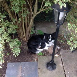 Lost dog on 01 Nov 2015 in Blackrock. Black and white female collie. LOST.  Blackrock area.