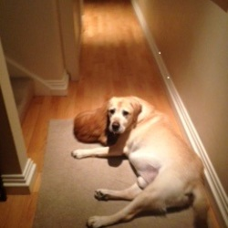 Lost dog on 15 Oct 2015 in Foxrock Area. Sam, Golden Labrador 11 years old. missing since mid Oct.Has arthritis and walks slowly. Has small scar on right paw. REWARD FOR SAFE RETURN.