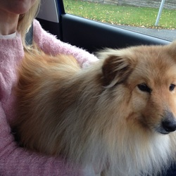Found dog on 21 Nov 2015 in Glenealy. Male dog found in Glenealy on Saturday 21/11/15 on the road near church. Appears to be well looked after with collar. With rathdrum vet.