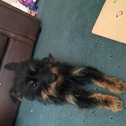 Found dog on 22 Nov 2015 in Tallaght. Small yorkie dog found in Tallaght Dublin 24 last night 22/11/15 no micro chip and is around 1 year old