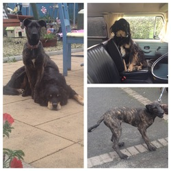Lost dog on 24 Dec 2015 in Prosperous, Naas, Co. Kildare. 2 dogs missing from Ballynafagh Lake area, Prosperous, Naas, Co.Kildare. Male black retriever with red collar and female brindle Great Dane pup with pink collar. Any info to 0879429989.
