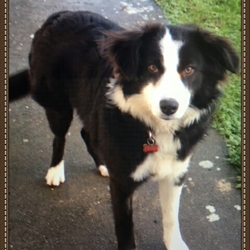 Lost dog on 23 Dec 2015 in Co. Roscommon. Jess is a 6 month old Collie Cross. She is very friendly. Jess has recently been neutered and she is microchipped. She disappeared from our home in Co Roscommon on 23rd December at 8pm. She was wearing a red collar with white spots with a name tag attached in the shape of a bone.
