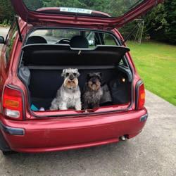 Lost dog on 10 Jan 2016 in Celbridge. Lost Miniature Schnauzer (grey dog in picture), 10/01/2016 in Celbridge area. Microchipped, PLEASE KEEP AN EYE OUT
