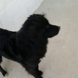 Found dog on 12 Jan 2016 in Ross...Mountnugent. found..2yr old Collie X Retriever ...found in Ross...Mountnugent...ref 15...contact Meath pound on 087 0676766...thanks..