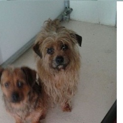 Found dog on 12 Jan 2016 in Moynalty. found..2 old Yorkie X...(Pip is neutered)..ref 19 & 20..found in Moynalty....contact Meath pound on 087 0676766...thanks..
