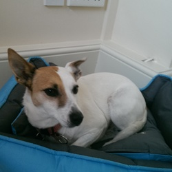 Dog looking for home 02 Sep 2014 in dublin south. Jack Russell terrier, rescue dog, friendly and loyal, great guard dog. Home needed- as emigrating.