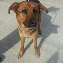 Dog looking for home 03 Apr 2016 in meath pound. SURRENDERED...NEEDS A HOME ASAP...Millie...2yr old GSD X....ref 131...surrendered to Meath pound today. Contact the pound on 086 3696413 ...thanks