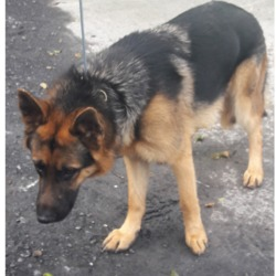 Dog looking for home 03 Apr 2018 in dublin...//.. surrendered , now in the dublin dog pound...needs a home...Surrendered Date: