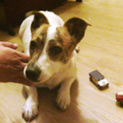 Dog looking for home 03 Aug 2013 in Balbriggan. Female jack Russell looking for a loving home, she is well behaved, shy and very good with young children. She is free to any good home. call Thomas on 0867706944 if you want to adopt her.