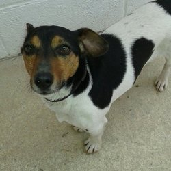 Dog looking for home 03 Feb 2016 in MEATH. SURRENDERED NEEDS A HOME ASAP...3yr old Male Jrt...surrendered to Meath pound today..ref 57....he is great with other dogs & children...he does not like cats....he is neutered & vaccinated etc...please contact Meath pound on 087 0676766...thanks