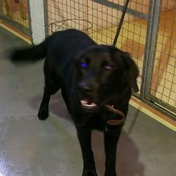 Dog looking for home 05 Feb 2016 in meath_pound. SURRENDERED NEEDS A HOME ASAP...Tubbs....8mt old Lab puppy...neutered, chipped & vaccinated..ref 65..surrendered to Meath pound today...great with other dogs ...has not lived with children...contact Meath pound on 087 0676766....