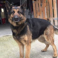 Dog looking for home 05 Feb 2017 in meath pound. Lucy is a beautiful 3 year old GSD female SURRENDERED to Meath Pound, needing home/rescue. Ref 41, Meath Pound is 087 0676766. If you can offer foster please contact 086 3696413 and Dogs in Distress will provide everything you need.
