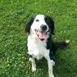 Dog looking for home 06 Aug 2015 in surrender_meath_pound. SURRENDERED needs a home ASAP. contact meath pound...Patch..ref. 348..18 month old Springer male. Surrender due to a change in circumstances.