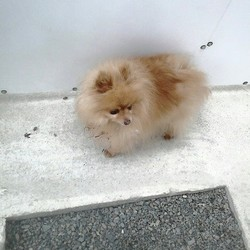 Dog looking for home 06 Jul 2015 in meath ... SURRENDERED needs a new home ASAP..Mr Pom Pom...7yrs old..please contact DOGS IN DISTRESS  086 3696413