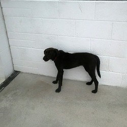 Dog looking for home 06 Jul 2015 in meath. SURRENDERED Needs a home ASAP.....6mt old male Lab x...surrendered to pound today...contact dogs in distress 086 3696413
