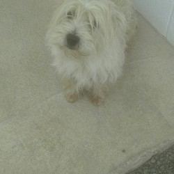 Dog looking for home 06 Sep 2016 in meath_pound...,.,. surrendered..Murphy...9yr old Westie.ref 333..surrendered to Meath today with Tyson...contact Meath pound on 087 0676766...thanks..His poor coat is in shocking condition