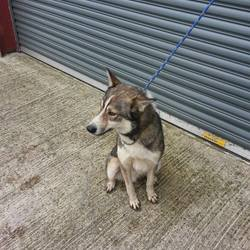 Dog looking for home 07 Nov 2014 in meath. SURRENDERED ..needs a new home..Rock...ref 495..2yrs ...Husky neutered male...surrendered today...contact Kathy on 086 3696413 if you can help this boy...thanks...