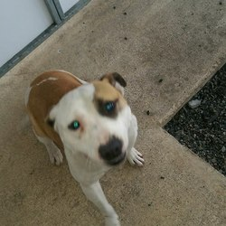 Dog looking for home 08 Dec 2016 in meath_pound./. surrendered needs a home, contact meath pound...Staffie Female surrendered with Jrt to Meath pound today