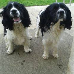 Dog looking for home 09 Mar 2015 in meath.. SURRENDERED 2 BROTHERS NEED NEW HOME ASAP..This poor pair are Dax & Whiskey..16mt old Male brothers..CKC X Springers....please contact Kathy on 086 3696413