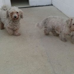 Dog looking for home 12 Jan 2016 in meath_pound. SURRENDERED..needs a home ASAP...Hutch & Molly ..5yr old Bischons....surrendered to Meath pound today....neutered & mircochipped....no comments except genuine offers of help....contact Meath pound on 087 0676766 if you can offer these pair a home or contact Kathy on 086 3696413 if you can offer foster....they will not be seperated....ref 17 & 18