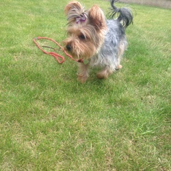 Dog looking for home 13 Aug 2015 in Santry. Yorkshire terrier female, she is missing since 13 august  in larch hill oscar traynor road im santry , she has a yellow collar with my number, i think she is stolen , please contact me on this number if you have informations 0852128142. Thank you!