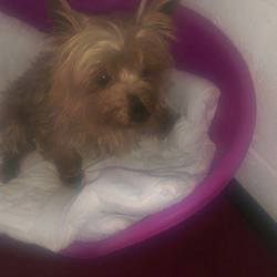 Dog looking for home 14 May 2015 in meath_pound_. SURRENDERED needs a home ASAP...Stitch....7yr old Female Yokie....surrendered to the pound today...please contact Kathy on 086 3696413 if you can help this girl...