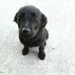 Dog looking for home 15 Sep 2015 in MEATH POUND. SURRENDERED NEEDS  A HOME ASAP, Mini...5mt old Lab x pup.ref 412..surrendered to Meath pound today.with Marly & Millie....contact Meath pound on 087 0676766 or text Kathy on 086 3696413 if you are free to foster..thanks.