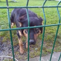 Dog looking for home 18 Oct 2016 in meath_pound. surrendered..Charlie...1yr old GSD X Lab was surrendered to Meath pound today through no fault of his own...ref 390  He needs an experienced understanding home where he will get all the attention he needs.  He has not lived with children and would be best suited with a female dog.  Please contact Meath pound on 087 0676766 or text Kathy on 086 3696413 if you can offer foster...thanks