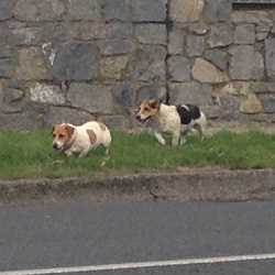 Dog looking for home 18 Sep 2014 in Fortunestown way, Tallaght . Seen this two dogs walking together in tallaght ( fortunestown way) heading west. Couldn't check any collars because I was about to take my bus. The smaller one is lumping by the back left paw. 