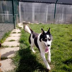 Dog looking for home 20 Apr 2018 in meath/..... surrendered contact meath pound...rocky, he's a sheltie x, surrendered to the pound today through no fault of his own, if you can help this cute little man please contact 0870973911