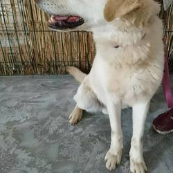 Dog looking for home 22 Apr 2017 in meath_pound.... Lenny 5yr old Male Lab....surrendered to Meath pound today through no fault of his own Please contact Meath pound on 087 0676766...or Kathy on 086 3696413 if you can foster this boy or offer him a home...thanks...
